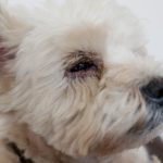 West Highland Terrier with medical condition dry eye