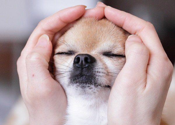 Chihuahua eye closed.