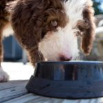 Chocolate and White Labradoodle Puppy eating or drinking from a bowl