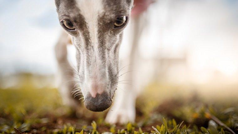 Hund riecht Gras.