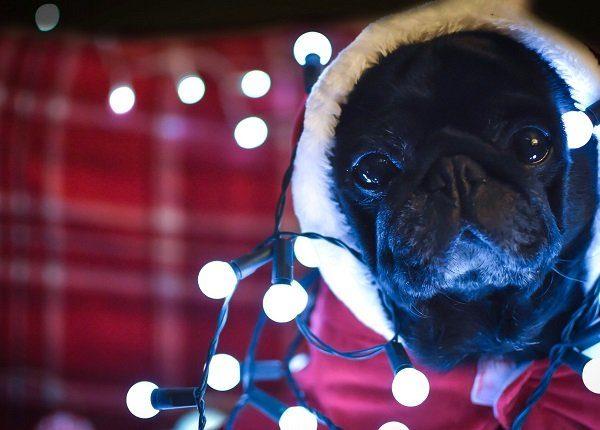 Pug with Christmas lights.