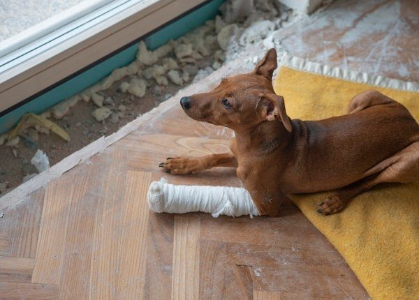 A dog with broken leg in casts looking out the window. Fractures require veterinary treatment.
