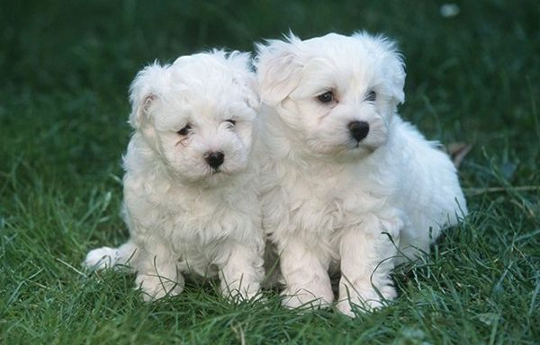 two maltese puppies on grass
