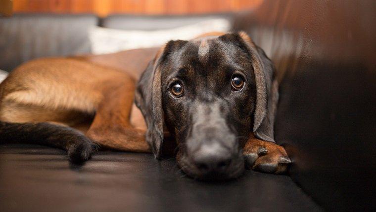 Schöner brauner bayerischer Berghund auf Sofa, der direkt in die Kamera schaut. Kann Sinusitis haben.