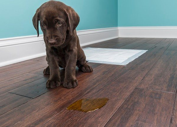 A distraught 8 week old Chocolate Labrador Retriever sitting next to a urine puddle on the hardwood floor because they missed the training pad behind them. Anybody that has had a young puppy knows the process of house breaking a puppy can be difficult.