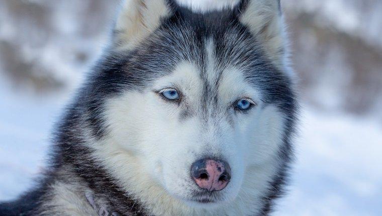 Porträt eines Hundes mit blauen Augen und einer rosa Nase. Blauäugiger Husky vom Schlittenhundeteam