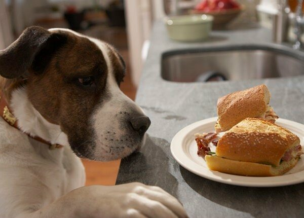 Dog with paw on counter looking at sandwich on plate