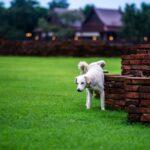 Dogs pee on greensward at wat chaiwattanaram Ayutthaya