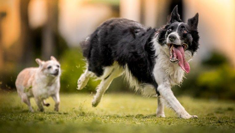 Ein schwarz-weißer Border Collie läuft glücklich mit einer langen heraushängenden Zunge, während ein kleiner brauner Chihuahua hinterher jagt.