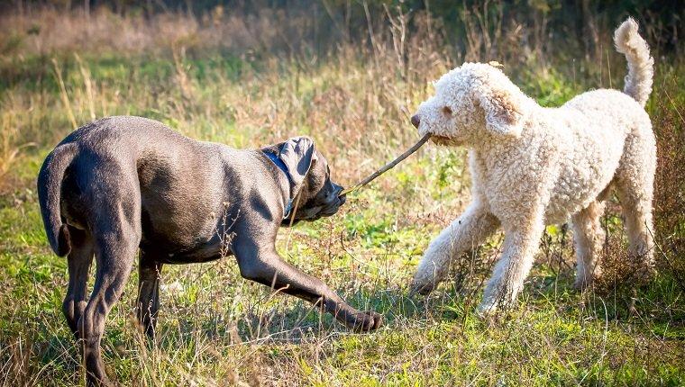 Zwei Hunde spielen mit einem Stock