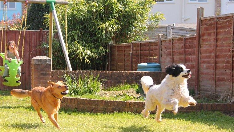 Zwei Hunde springen und spielen im Garten mit einem jungen Mädchen, das im Garten spielt