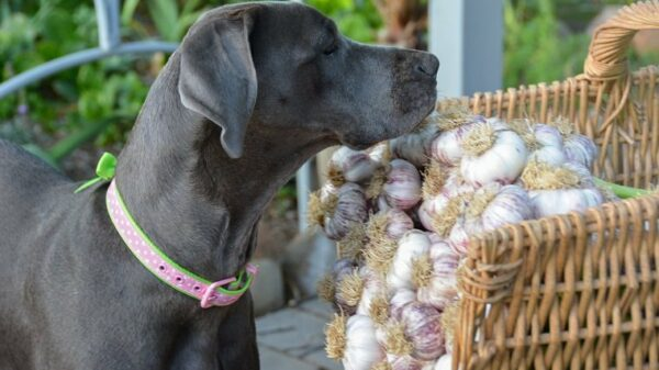 Curious canine garden helper inspects garlic