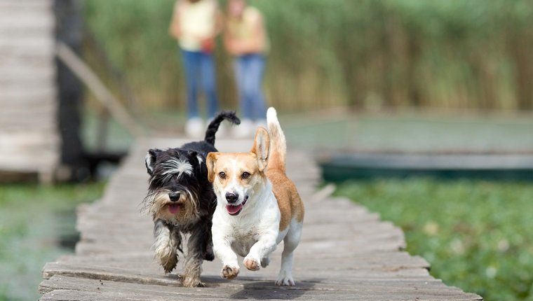 Zwei entzückende Hunde, die auf Holzdock laufen running