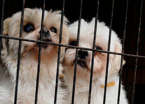 Puppy Mill Action Week: Wie Sie helfen können, Puppy Mills zu bekämpfen