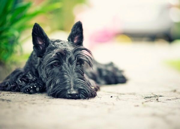 Scottish terrier lying on concrete, possibly suffering from Von Willebrand disease