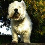 Sam the West Highland Terrier and who has been given a temporary reprieve at Aberdeen district court from death row for barking. The owner of the dog was making a bid to save the animal