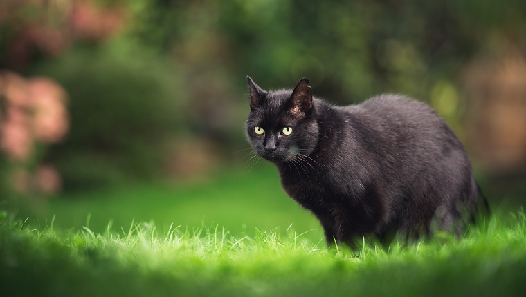 schwarze Hauskatze Kurzhaar mit Ohrkerbe steht auf Wiese mit Pflanzen im Hintergrund