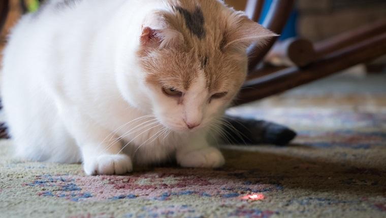 Eine schöne Kattunkatze, die von einem Laserpointer auf einen roten Punkt starrt