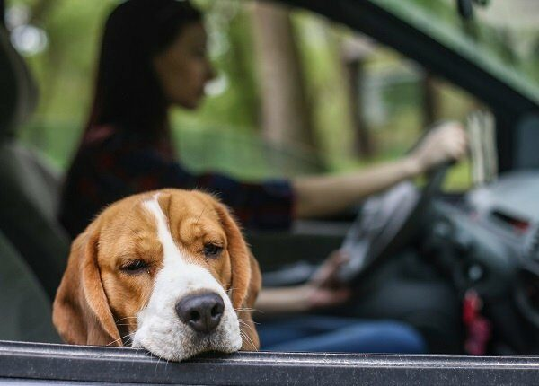 Young woman driving her Beagle dog in a car.