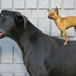 Chihuahua on Great Dane