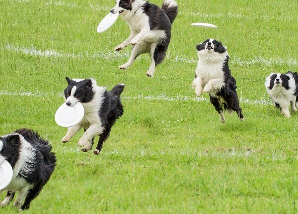 The isolated motion of frisbee dog on the grass in a sunny day.