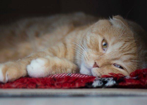 The sad red scottishfold cat lies in a box