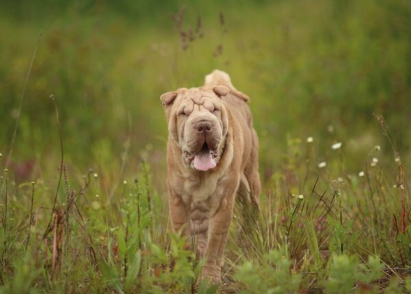 Portrait of a Shar pei breed dog on a walking on a field. Green grass background