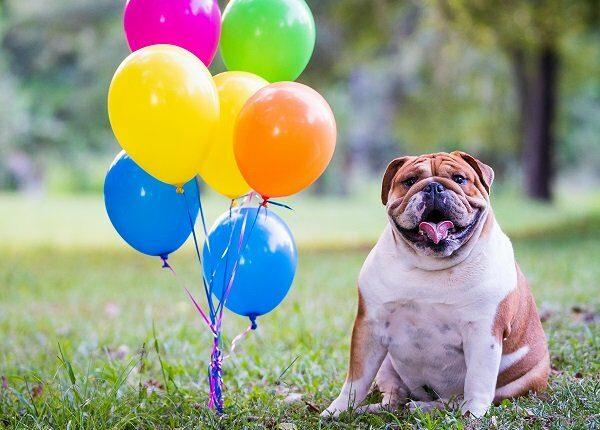 Bulldog And Balloons