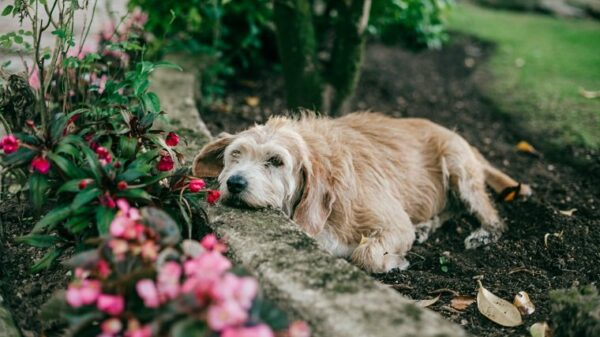 dog resting in garden